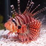 【ミノカサゴ】飼育方法や注意点、餌など・・・