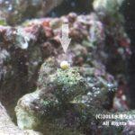 極小ヤドカリ大量発生!プランクトンから成体に成長。