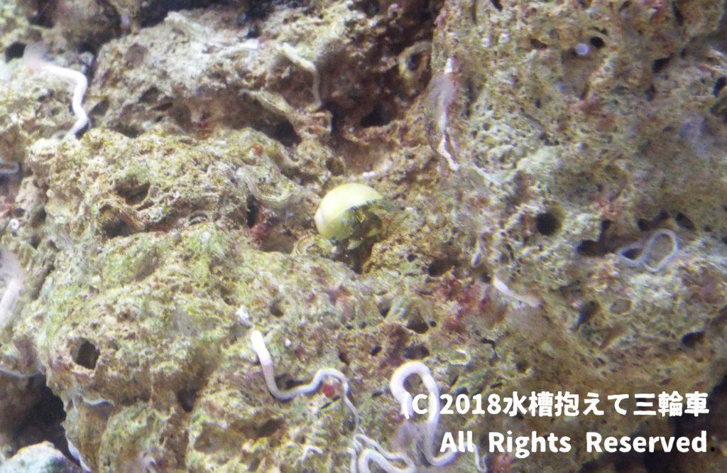 黄色い貝殻