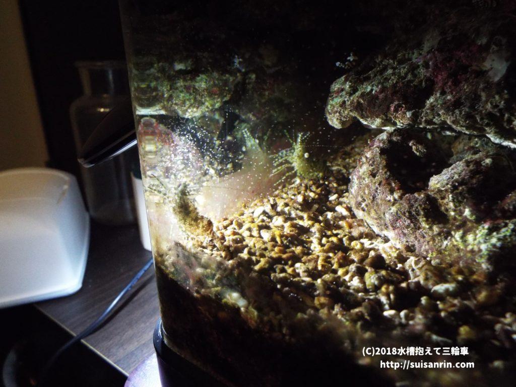 ブラインシュリンプを食べるフシウデサンゴモエビ