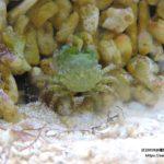 丈夫な掃除カニ『エメラルドグリーンクラブ』飼育方法・餌・食べるコケ(藻類)