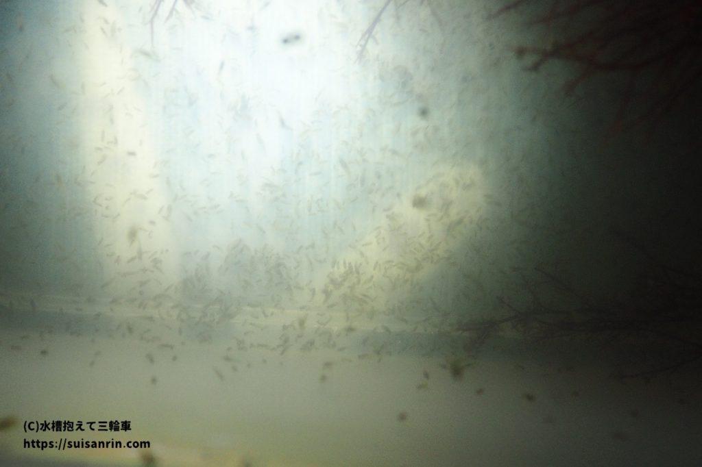 水温合わせ中のヨコエビ