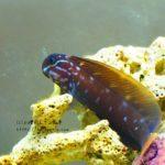 『ニラミギンポ・フタイロカエルウオ』飼育方法・餌・性質など…