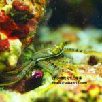 地味なコケ取り蟹『トゲアシガニ』飼育方法・餌・食べる藻(コケ)・混泳など