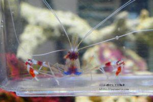 水合わせ中のオトヒメエビ