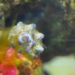 コケ取り貝『カンギクガイ』飼育方法・食べる藻類・動かない時は?