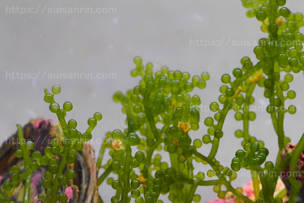 ウミブドウのコツブムシ