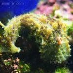 シアノバクテリアも食べる『タツナミガイ』飼育方法・餌・注意点