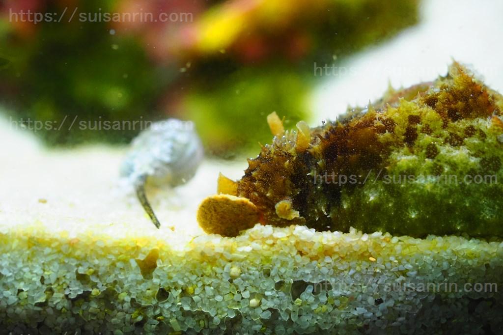 人工飼料を食べるタツナミガイ