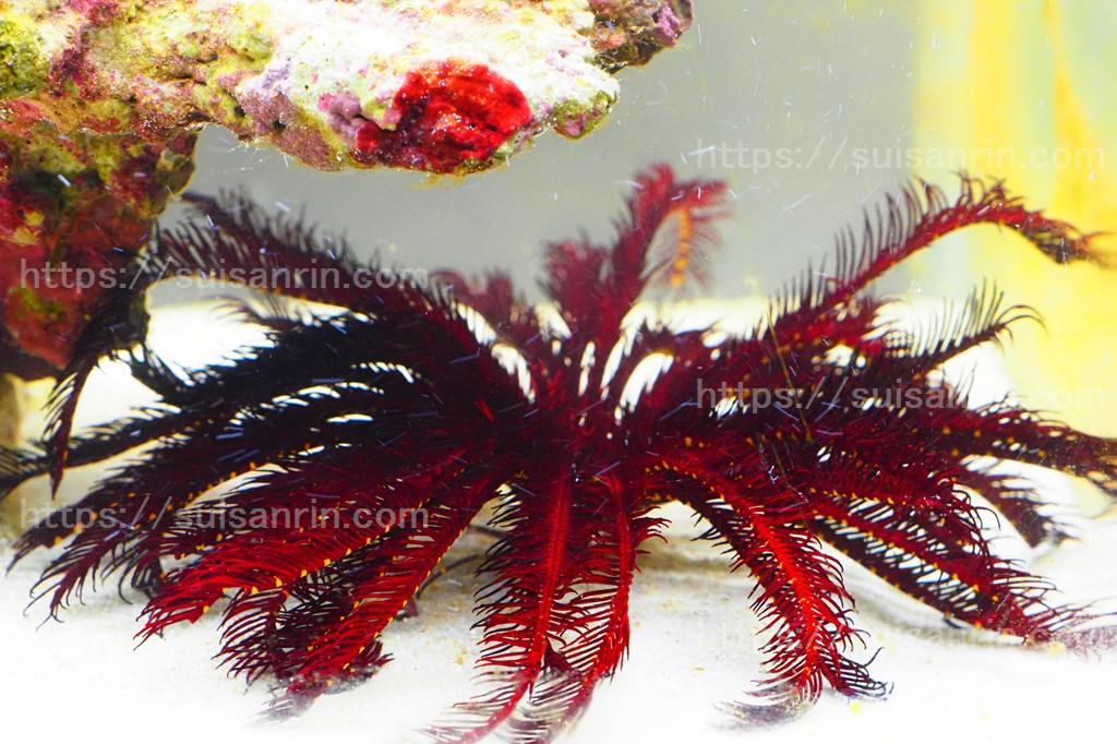 赤いウミシダ