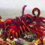 泳ぐ海藻!?『ウミシダ』飼育方法・エサ・環境・注意点などなど…