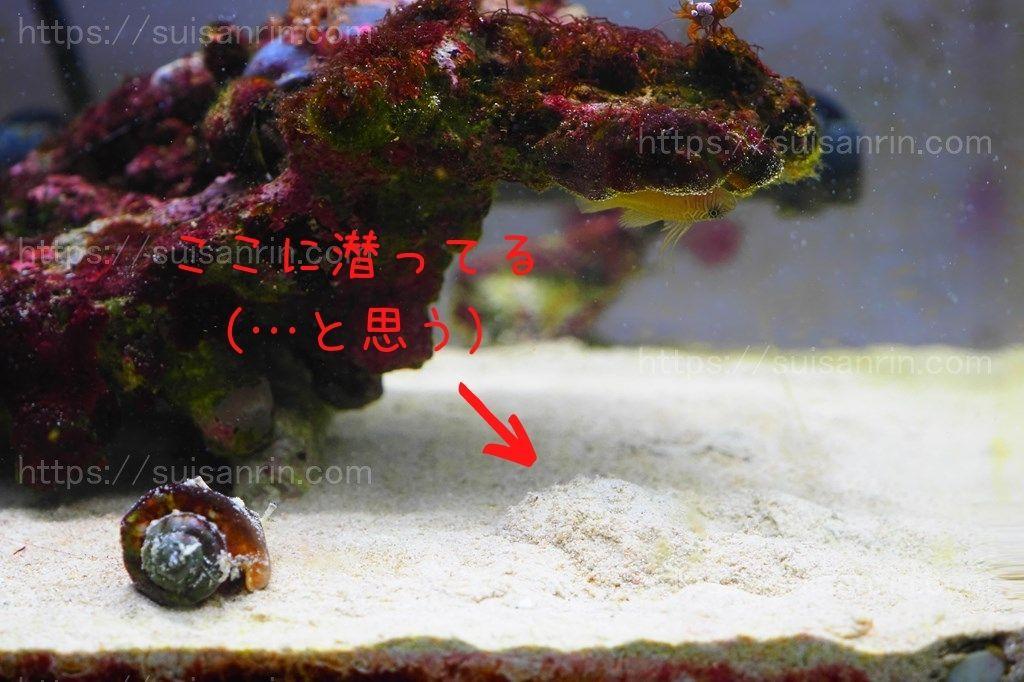 砂に潜るカブトガニ