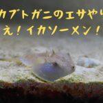 『カブトガニのエサやり』動画と脱皮殻(水槽飼育)