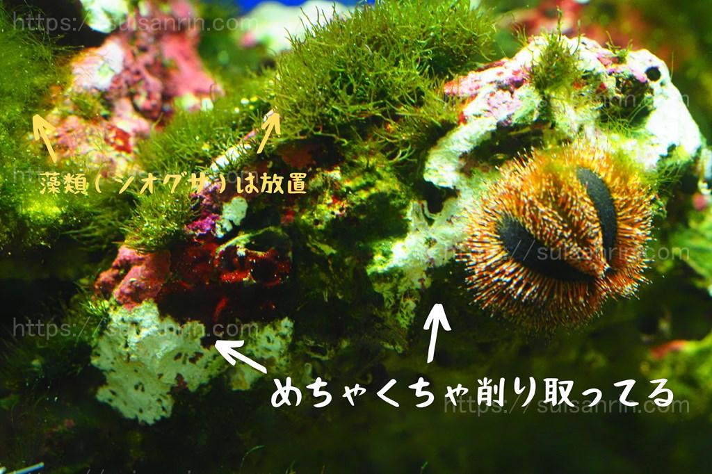 石灰藻を食べるコシダカウニ