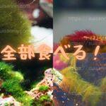 『ウニの水槽掃除』藻類(コケ)をどのくらい食べる?
