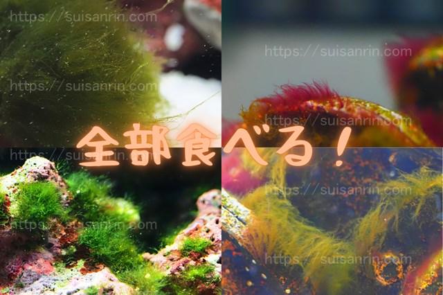 ウニが食べる藻類